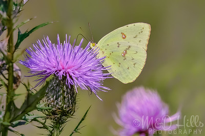 Cloudless Sulphur On Thistle