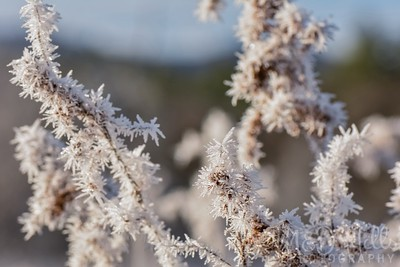 Frosty Goldenrod