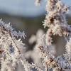 Frosty Goldenrod