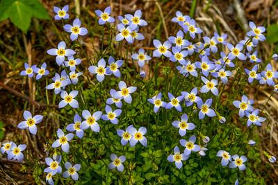 Bluet Bouquet