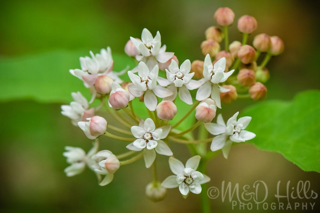 Four Leaved Milkweed