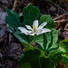A Single Bloodroot