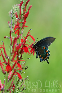 Pipevine Swallowtail On Cardinal Flower