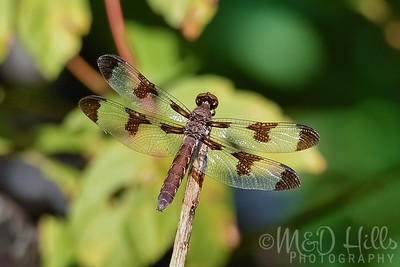 Long-Tailed Skimmer Dragonfly