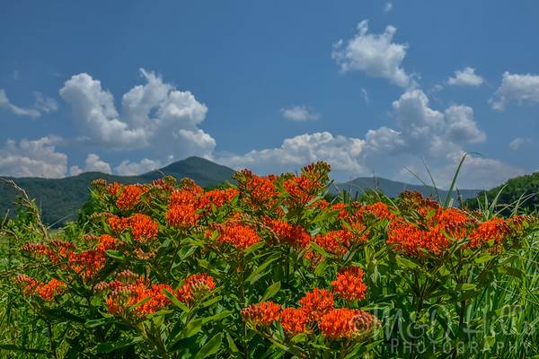 Wild Butterfly Weed