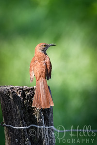 A Brown Thrasher (Vertical)