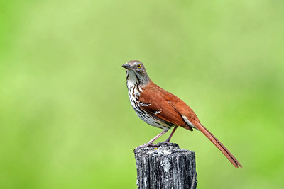 A Brown Thrasher