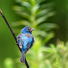 Indigo Bunting Male - First Year
