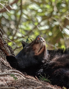Bearly Sleeping