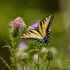 Eastern Tiger Swallowtail On Bull Thistle