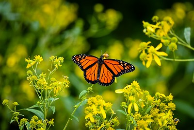 Monarch Butterfly On Wingstem