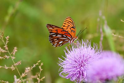 Nectarous Fritillary