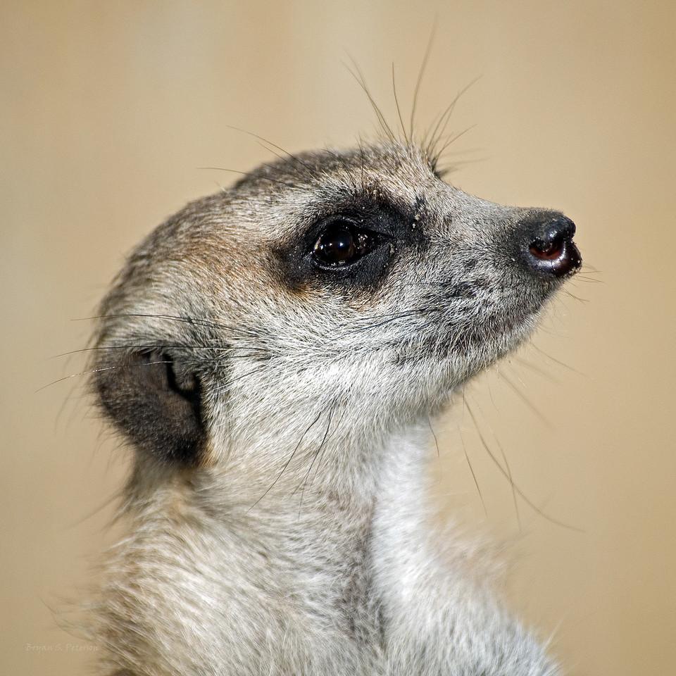 Meerkat at PDZA