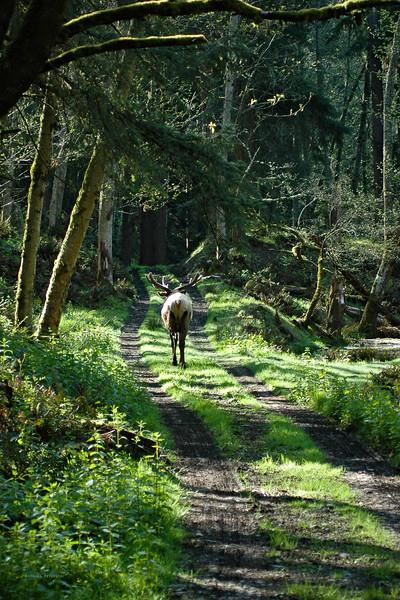 Bull Elk captrued at Northwest Trek Wild Animal Park in Eatonville, Washington.  Wandering down the lonely road.