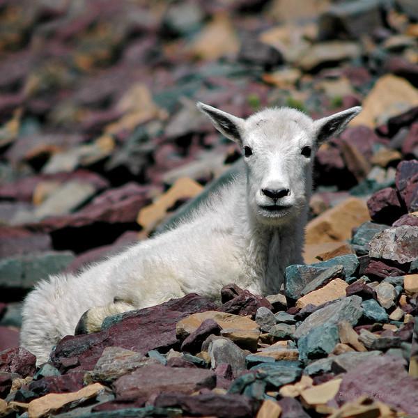 Baby mountain goat captured at Glacier National Park, Montana