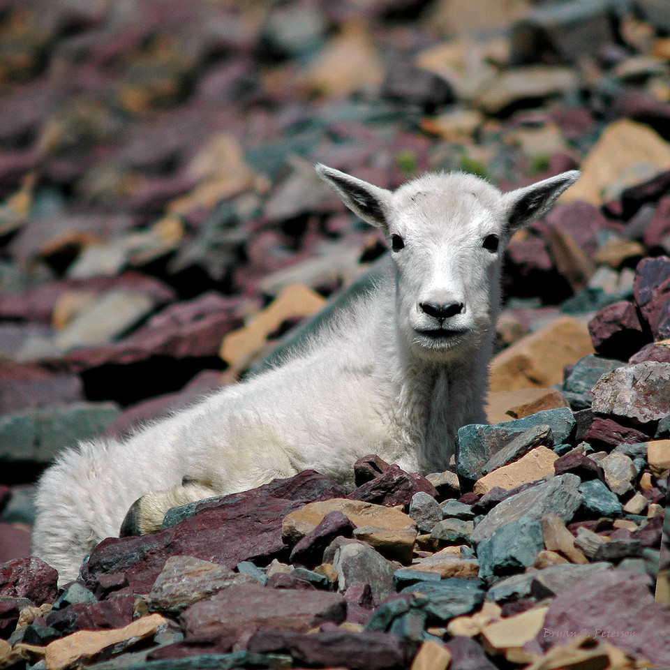 Baby mountain goat captured at Glacier National Park, Montana