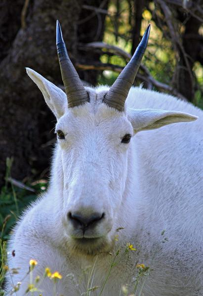 Male Rocky Mountain Goat captured above Logan Pass, Glacier National Park, Montana