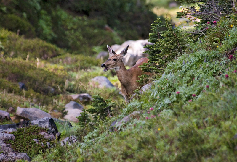 "Supprised black-tailed doe at Paradise, Mount Rainier National Park.  Yawning in preperation for ""fight or flight response""."
