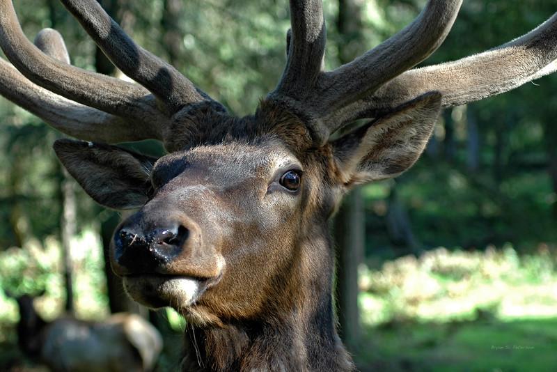 Bull Elk captrued at Northwest Trek Wild Animal Park in Eatonville, Washington.