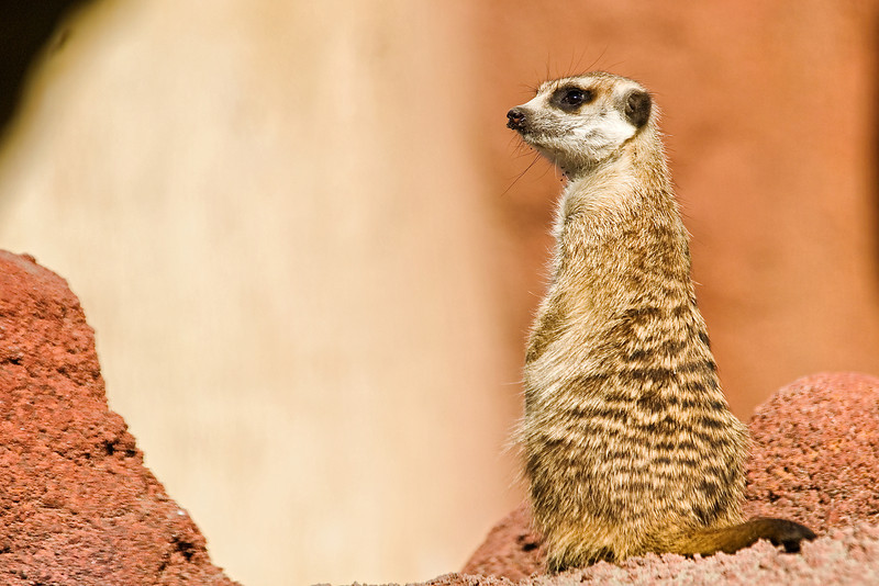"Captive Meerkat ""Suricata suricatta"" at Point Defiance Zoo, Tacoma, Washington."