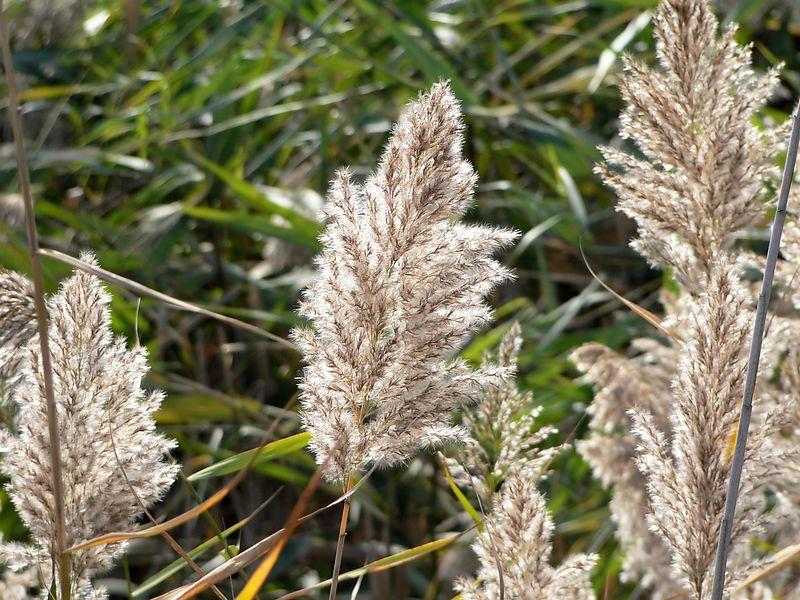 Reeds in the marsh.