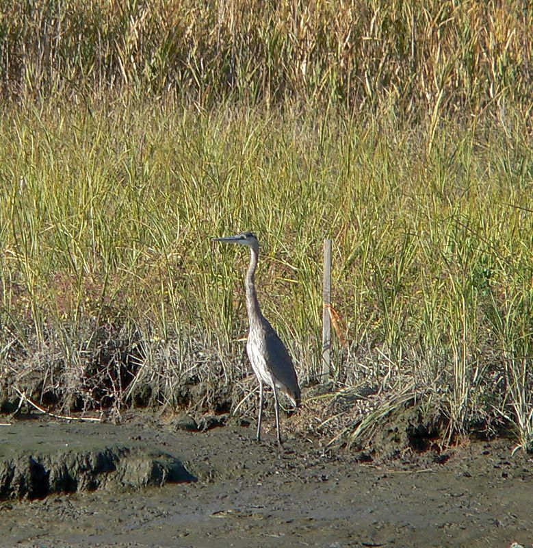 Heron (Great Blue?)