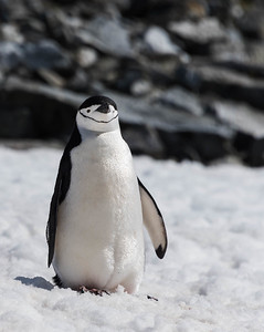Chinstrap Penguin by Soozi