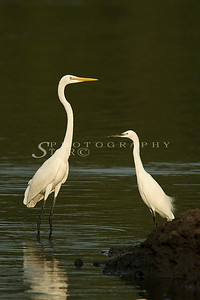 The Great White Egret with the Little Egret