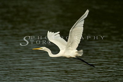 As the name suggests, a large, white heron. Great white egrets can look similar to little egrets, but they are much larger -the same size as the familiar Grey Heron. Other identification features to look out for include black feet (not yellow), yellow beak (in juvenile and non-breeding plumage), and a different fishing technique like that of the Grey Heron.