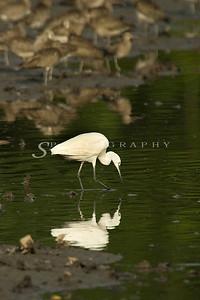 Little Egret ( Egretta garzetta)