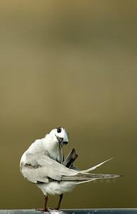 Little Tern preening
