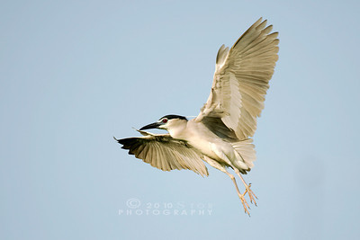 Blackcrowned Night Heron,