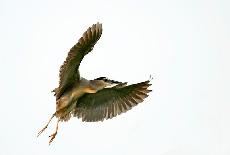 Blackcrowned Night Heron,