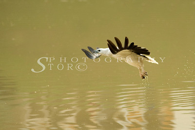White-Bellied Fish Eagle coming in