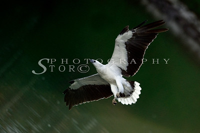 White-Bellied Fish Eagle soar towards the sky