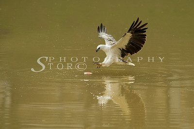 White-Bellied Fish Eagle spot on