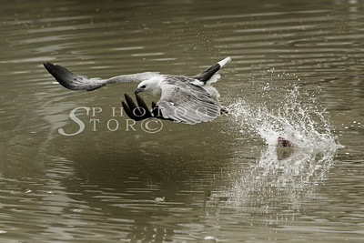 White-Bellied Fish Eagle go for morning catch