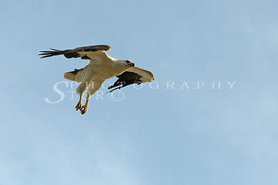 White-Bellied Fish Eagle zooming down for food
