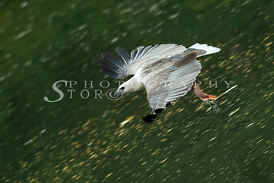 White-Bellied Fish Eagle with morning catch