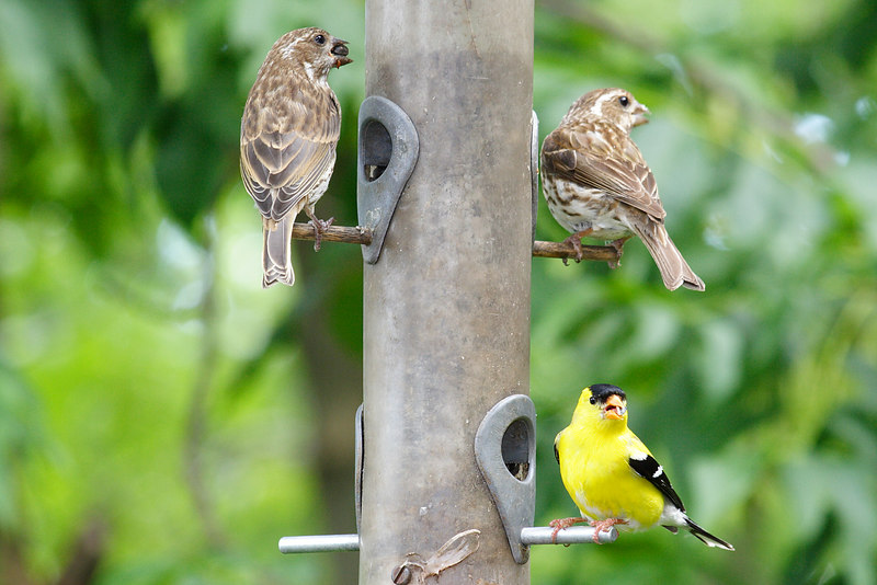 More Finches.