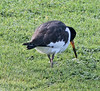 IMG_3426 Oystercatcher on lawn SM