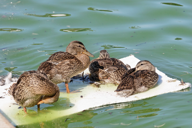 Ducks on a raft at Eisenhower Park, Long Island, NY.