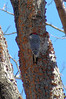 Red-bellied Woodpecker working on his new apartment in Alley Pond Park.