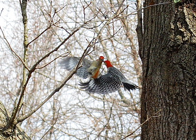 Red bellied Woodpeckers tussling. I believe this is a male and female.