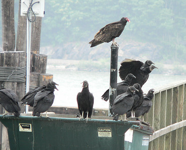 Black Vultures with 1 Turkey Vulture at the dock at Bear Mt.