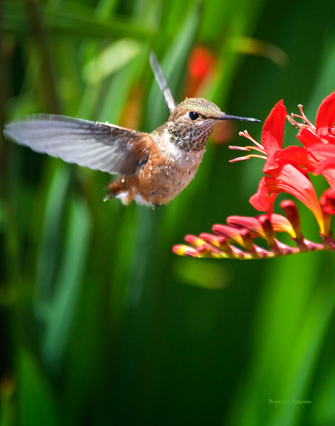 Female Rufous Hummingbird checking out something for lunch.