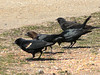 Brown-headed Cowbirds and Red-winged Blackbirds at Jones Beach.