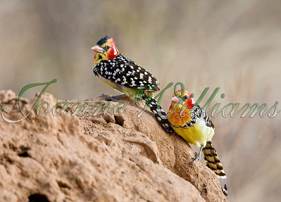 Red & Yellow Barbet pair #2