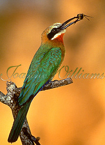 White-fronted Bee-eater with Bee #1