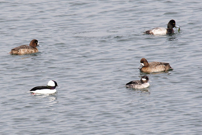 M & F Buffleheads and Lesser Scaups.